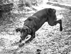 The Chase (pt. 2) (vZwicky) Tags: dailyinpentaxforums smctakumar85mm18 blacklab dog fetch pentaxk1 monochrome
