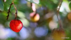 Arbutus Unedo (Frank Abbate) Tags: corbezzolo fruit mediterranean arbuto frutto rosso red lecce salento italia italy italian food cibo pianta arbusto strawberrytree berry canon eos 80d