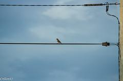 Numro de funambule... (Crilion43) Tags: france vreaux divers ciel nature paysage fauvette centre oiseaux canon nuages tamron 1200d cher objectif bleue charbonnire msange rflex