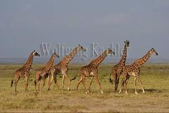 10076038 (wolfgangkaehler) Tags: 2016africa african eastafrica eastafrican kenya kenyan amboseli amboselikenya amboselinatlparkkenya amboselinationalpark wildlife mammal giraffe giraffes giraffacamelopardalistippelskirchi herd tower group