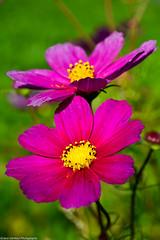 Cosmea (Jaco Verheul) Tags: cosmea cosmos flower bloem fleur paars purple yellow two green jacoverheul nikon nikond7100 d7100 1685mm outdoor beautiful