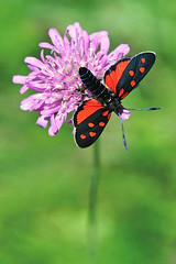 Zygaena with open wings (ste.it) Tags: macro butterfly bug wings moth farfalla burnet zygaena zygaenidae sixspot filipendulae tamron90