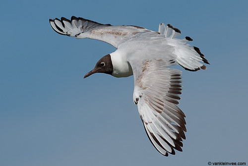 Black-headed Gull, 2cy, W[E5RT]