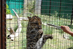 Gimme Food (JSleeper) Tags: oregon amurleopard greatcatsworldpark