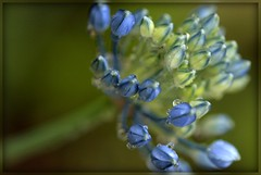 (Alicia Lynn) Tags: blue usa flower nature fauna wisconsin outdoors flora purple blossom wildlife cluster fox blossoming bud 90mm wi picnik appleton flourishing floweret floret county cities macro tamron canonrebelxti alicialynncook northamerica gardens 20110619 outagamie