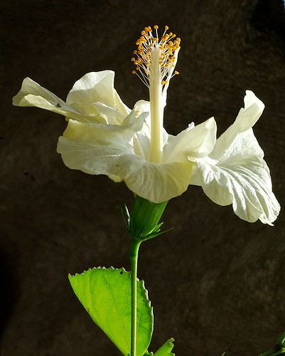 Hibiscus at home by alopez2006