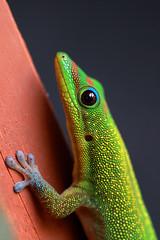 Hawaiian Gecko1 (mtnrockdhh) Tags: green hawaii gecko kealakekua kona