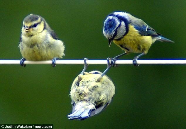 Mum watches in amazement as bird on a wire gets in a spin on the washing line  1