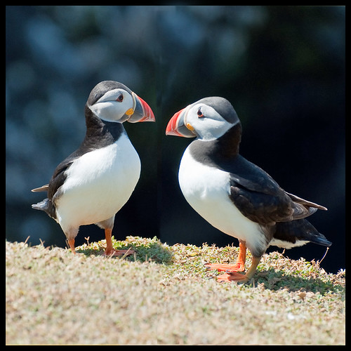 Mr and Mrs Puffin.