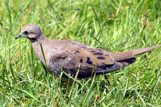 Young Mourning Dove 2011