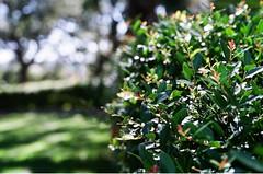 THE HEDGEROW (La Branaro) Tags: park summer plants green film leaves gardens 35mm austin 1 texas fuji dof bokeh landmark olympus depthoffield hedge shallow om shrub om1 zilker shrubbery hedgerow zilkerbotanicalgarden summercolor superia800 50mmmacro zuikomacro