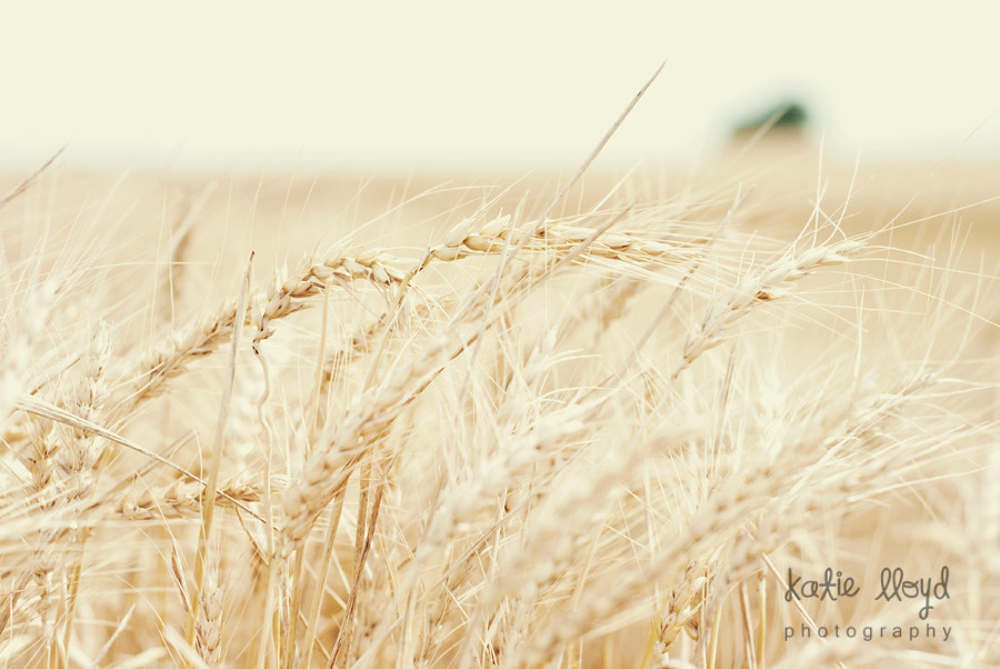 Wheat-harvest-1