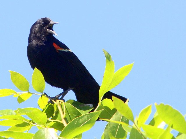 Red-winged Blackbird 2-20110704