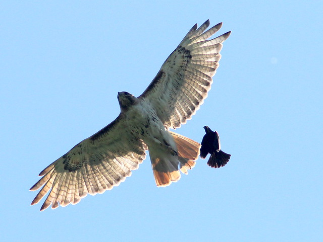 Red-tailed Hawk and blackbird 3-20110704