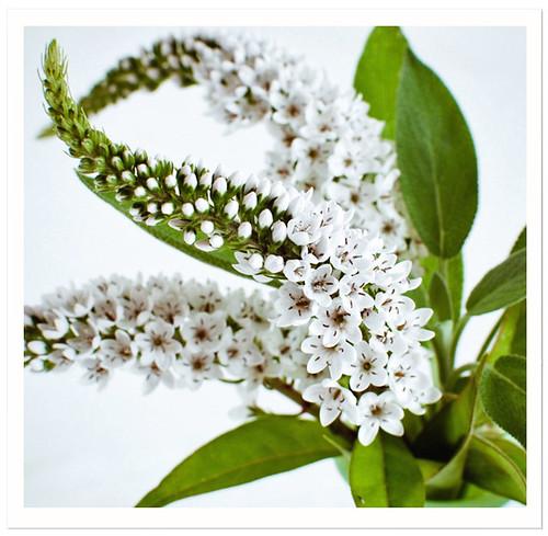 Petite White Blooms