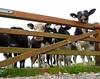 Gwartheg wrth y giat / Cow & Gate (carreglwyd) Tags: four countryside cow eyes gate cows country gwartheg cefn friesan llygaid buwch giat pedwar gwlad