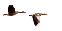 Duo fly by (Remy Snippe) Tags: bird nature spring nikon duo nederland natuur goose ganzen lente dieren animalplanet vogel anseranser bif zwillbrock birdinflight d90 grauwegans grauweganzen zwillbrockervenn sigma120400 remysnippe wwwremysnippenl