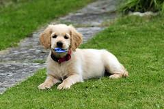 Bailey photo of the day 15 (markconnell) Tags: boy dog pet cute goldenretriever puppy nikon retriever bailey 365 loveable connell kadaka sb700 markconnell baileygoldenretrieverpuppydogboymarkconnell kadakakourageus