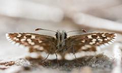 Grizzled skipper / Aardbeivlinder (Kees Waterlander) Tags: macro nederland peat veen moor bog drenthe moorland grizzledskipper bargerveen pyrgusmalvae aardbeivlinder theneterlands hoogveen