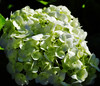 Green Hydrangeas Flowers (e.nhan) Tags: flowers macro green art nature closeup hydrangeas enhan