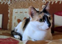 160-November'14 (Silvia Inacio) Tags: cats cat gatos calico gata pipoca