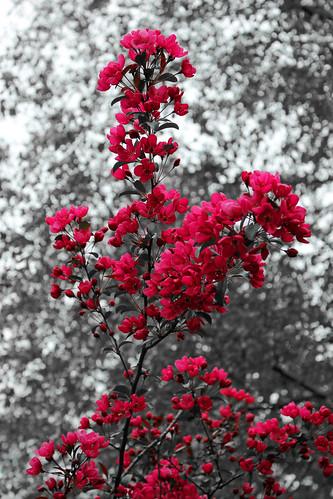 """Zierapfelblüten • <a style=""""font-size:0.8em;"""" href=""""http://www.flickr.com/photos/69570948@N04/17377802409/"""" target=""""_blank"""">Auf Flickr ansehen</a>"""