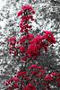 Zierapfelblüten (Rüdiger Stehn) Tags: germany deutschland europa blüte baum schleswigholstein norddeutschland mitteleuropa colorkeying gehölz altenholzstift altenholz canoneos550d