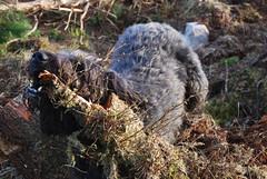 Dougal (Màrtainn) Tags: dog chien skye cão cane scotland highlands isleofskye alba hond escocia perro hund pies kutya labradoodle alban szkocja hundur suns pes escócia dougal schottland schotland ecosse anjing scozia kopek skottland собака koira skotlanti skotland koer broskos šuo câine escòcia anteileansgitheanach skócia albain iskoçya cù шотландия rawtherapee σκωτία σκύλοσ gàidhealtachd eileansgitheanach scoţia