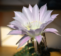 Cactus flower (Leonardo Piccioni) Tags: flowers cactus nature colors spring d7100 nikkor1685vr