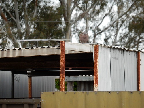 Pigeon on Rusting Shed