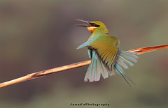 Colors . . .!! (Jawad_Ahmad) Tags: blue pakistan light green nature beautiful beauty photography wings natural bokeh bee tailed eater naturelover sialkot jawads naturesphotography