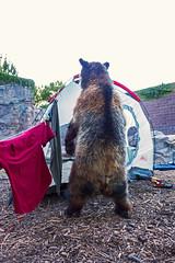 grizbearpicn01853ez (Reid Park Zoo) Tags: bear arizona picnic tucson may grizzly campsite grizzlybear 2015 reidparkzoo bearpicnic grizzlybearpicnic