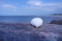 little shell (dominik.gaida) Tags: stone shell seashell stein muschel