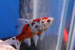 Musing Goldfish