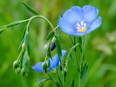 Wild Blue Flax - Linum lewisii (2) (Kelly.Belle1) Tags: blue flower 1001nights wildflower flax linumlewisii topshots wildblueflax naturesplus macroelsalvador excellentsflowers natureselegantshots mimamorflowers panoramafotografico flowerarebeautiful thebestofmimamorsgroups contactgroups 1001nightsmagiccity theoriginalgoldseal mixofflowers esenciadelanaturaleza magicmomentsinyourlife magicmomentsinyourlife2 onlythebestofflickr
