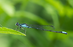 Skimming Bluet at St. Mary's Lake (Bonnie Ott) Tags: odonate odonata bluet damselfly stmaryscounty skimmingbluet enallagmageminatum bonniecoatesott