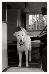 Hey Bus Driver! (R. Drozda) Tags: alaska sandy converted schoolbus camper beingthere northpole huskador drozda ravenveterinaryclinic drolson labrusky littledoglaughednoiret
