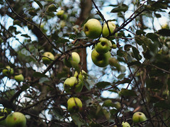 apple tree (weronika.banka) Tags: bokeh tree nature stilllife fruits apples appletrees
