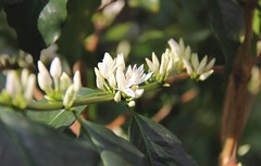 2016 Oct - flowering coffee branch (Foods Resource Bank) Tags: haiti caribbean coffee farmers men women pruning improved income humanitarian food security development charity hunger