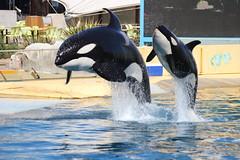 IMG_6905 (Bebelouga) Tags: orque marineland killerwhale orca