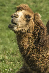 Bactrain Camel (jmhutnik) Tags: thewilds camel bactriancamel refuge ohio wildlife