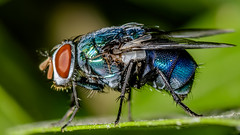It's my day! (chandra.nitin) Tags: animal bluebottlefly calliphoravomitoria diptera fly flydayfriday insect macro nature kanpur uttarpradesh india