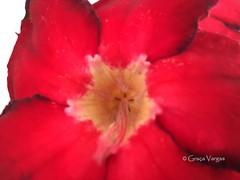 rosa-do-deserto ( Graa Vargas ) Tags: flower graavargas macro 2016graavargasallrightsreserved rosadodeserto lrioimpala adeniumobesum red appleiphone6s iphone