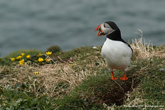 Vocal!!! (Louise Morris (looloobey)) Tags: aq7i9417 puffin lunga may2016 scotland island vocal cliff sea boat