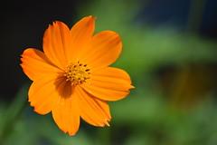 DSC_0055 (Kelson Souza) Tags: flor flores primavera flower flowers natureza beleza jardim jardinagem garden gardens colorido floricultura petalas ptalas florescer