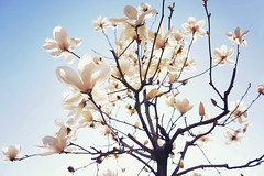 magnolia (Shizuho (41style)) Tags: 2016 dslr epl2 flower