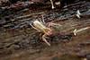 4a Pseudoscorpion (Bugldy99) Tags: animal macro nature outdoors pseudoscorpiones pseudoscorpion pseudoscorpionida arthropod arthropoda arachnid arachnida chelicerata chelicerates