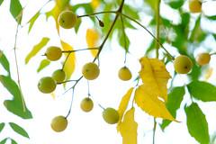 autumn balls (Rodrigo Uriartt) Tags: autumn balls yellow nature macro macrophotography closeup flowers bokek dof nofilter nocrop betyehoshua israel fujifilm xpro1