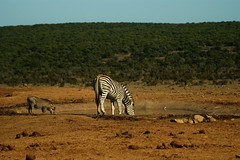 DSC03743 (Emily Hanley Photography) Tags: elephant elephants addo elephantpark nationalpark sa southafrica africa photography colour warthogs buffalo zebra waterhole rawimages raw nature naturalphotography animals animal