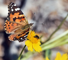 Painted Lady (A Political Kind Of Day!) Tags: odc warmcolours orange yellow inthebackyard butterfly paintedlady black white large chrysantemum bug twofer green brown